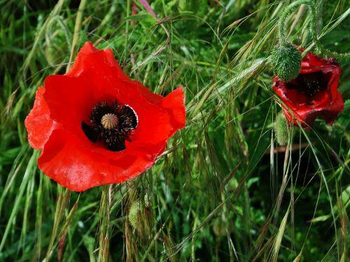poppy,red,field,meadow,grass,countryside,bud,plant