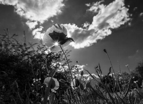 poppy grass flower