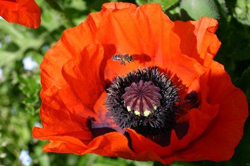 poppy  close up  klatschmohn