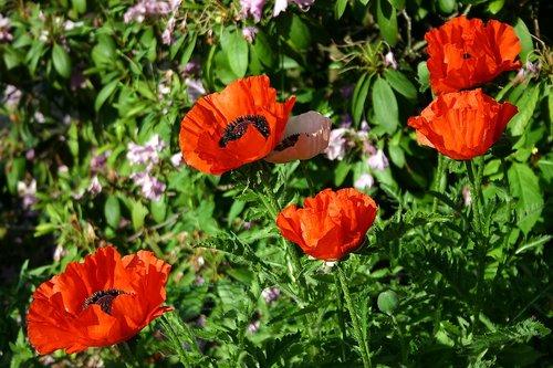 poppy  garden  klatschmohn