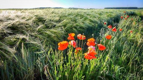 poppy  field  nature