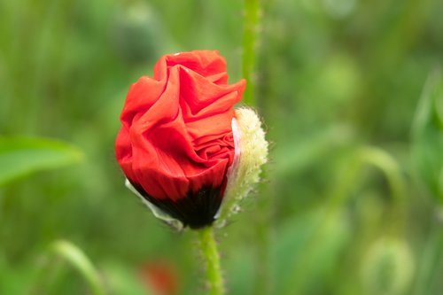 poppy  klatschmohn  unfold