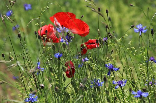 poppy  meadow  bloom
