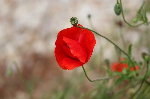 poppy  poppy flower  klatschmohn