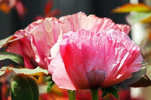 poppy  pink poppy  pink