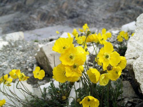 poppy alpine blossom