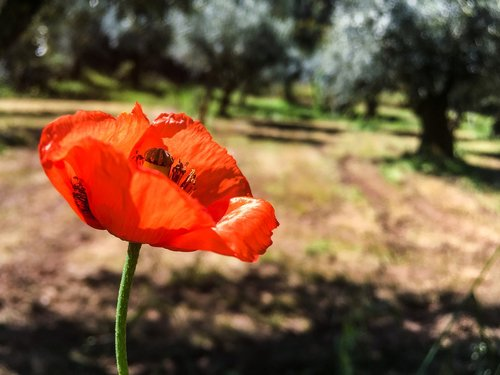 poppy  field  olive trees