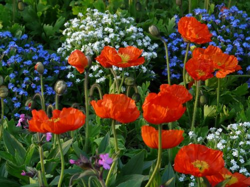 poppy klatschmohn bed