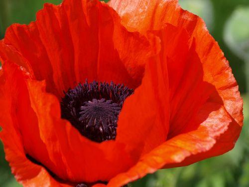 poppy klatschmohn blossom