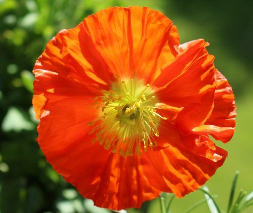 aguona,žiedas,žydėti,ispanų aguonas,oranžinė,dekoratyvinis augalas