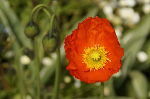 poppy bloom bi color