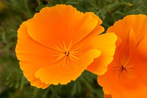 poppy gold poppy eschscholzia californica