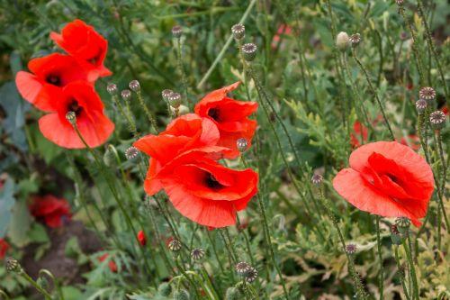 poppy klatschmohn poppy capsules