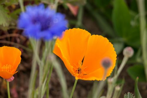 poppy cornflower gold poppy