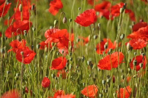 poppy klatschmohn red