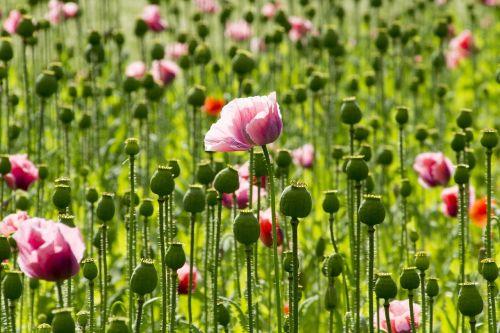 poppy flowers pink poppy