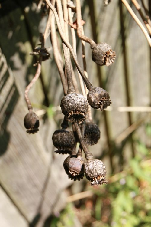poppy capsules dried