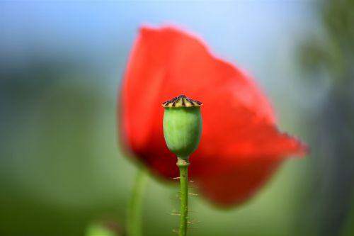poppy capsule spiny macro
