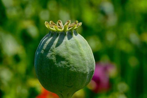 poppy capsule  opium poppy  mohngewaechs