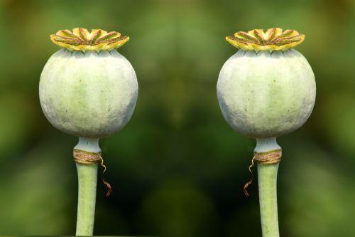 poppy capsules green green capsules