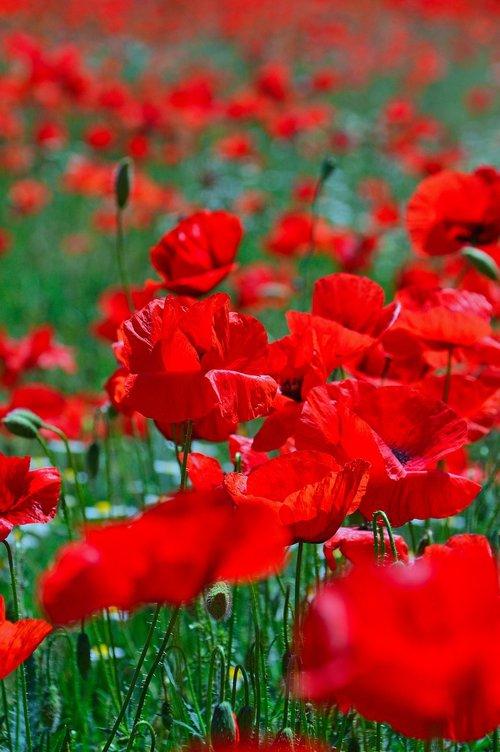 poppy field  mood  poppy
