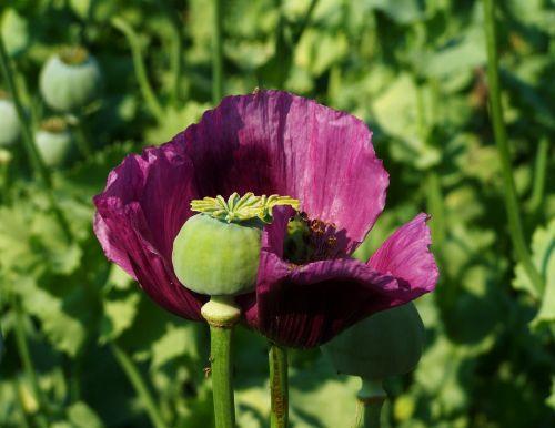 poppy flower purple flower poppy seedpod