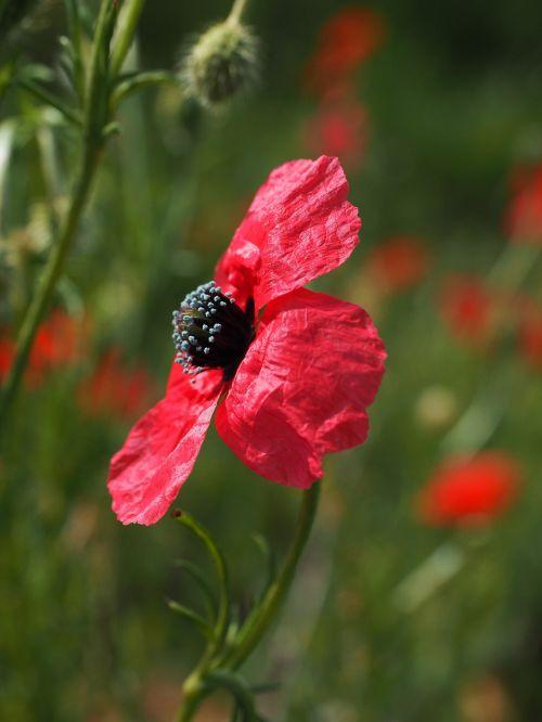 poppy flower purple deep red
