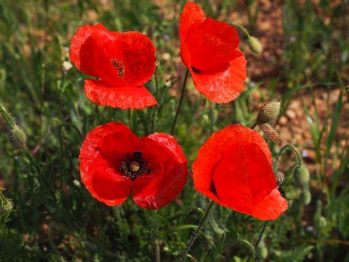 poppy flower poppy red poppy