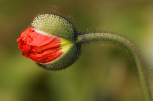 poppy flower blossom poppy