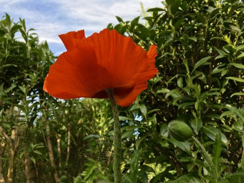 poppy flower,flower,plant,garden,nature,red,green,bud,leaves,sky,blue,white,tender,fragile,garden plant,bed