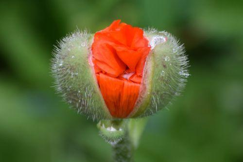 poppy flower flower plant