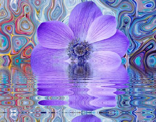 poppy flower poppy flower