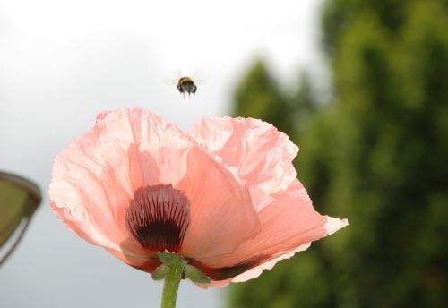 poppy flower hummel departure rosamohn