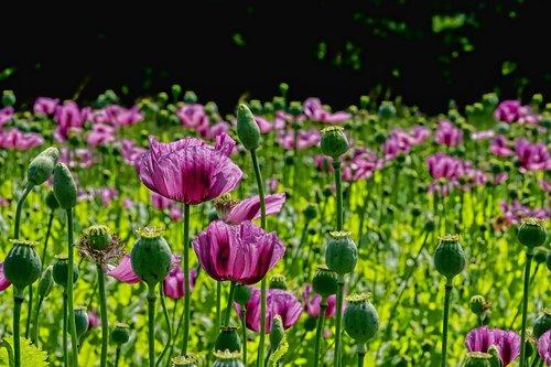 poppy flower  poppy buds  poppy capsules