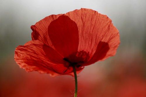 aguonos gėlė, aguona, raudona gėlė, Klatschmohn, raudona aguonos, pobūdį, laukas aguonos, klesti mohnfeld, raudona, mohngewaechs, laukas, gėlės, šviesus, aguonos pumpurai, Iš arti, ankstus rytas, atmosferos, morgenstimmung, rasa, makro, pavasaris