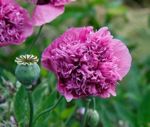 Poppy Flower Pink