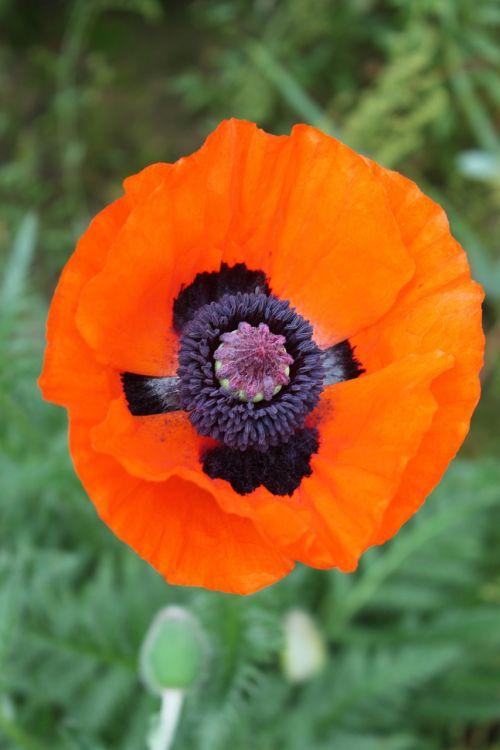 poppy flowers nature pink poppy