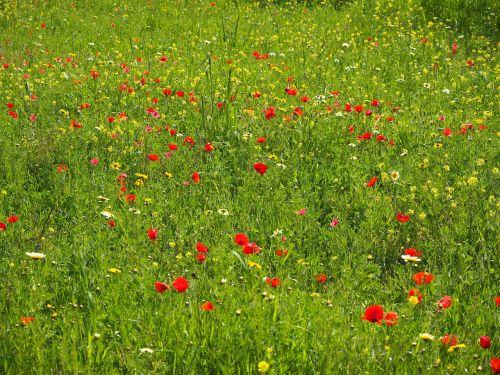 poppy meadow poppy flower poppy