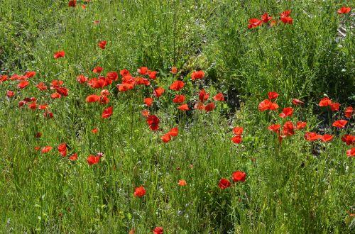 poppy meadow red flowers poppy