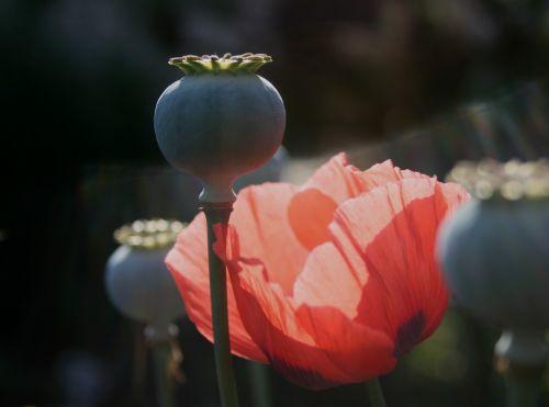 Poppy Pod And Red Poppy
