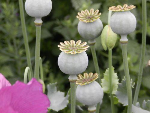 Poppy Seed Pods 1