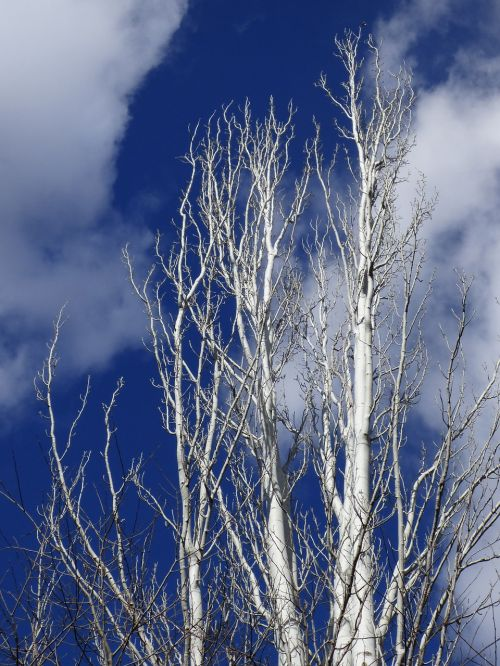 populus alba white poplar sky
