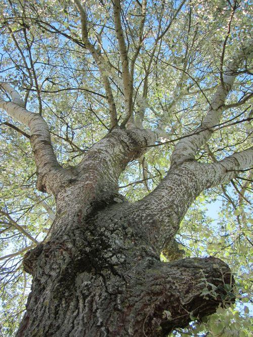 populus alba abele silver poplar