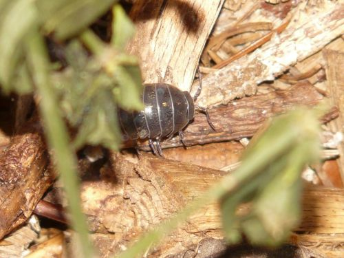 porcellio scaber animal terrestrial isopod