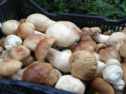 porcini fresh mushroom