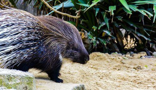 porcupine animal prickly
