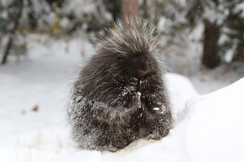 porcupine mammal animal