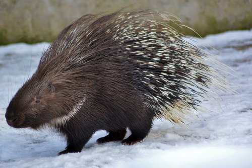 porcupine  rodent  zoo