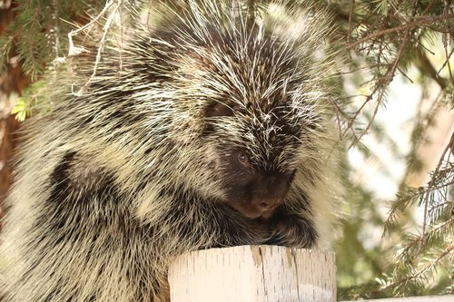 porcupine  wildlife  nature