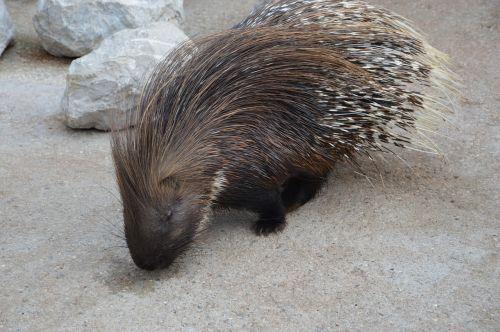 porcupine rodent needle